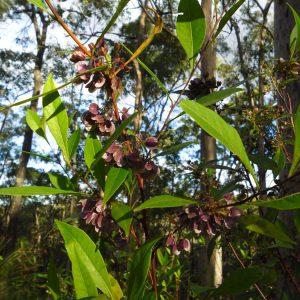 Dodonaea triquetra, Forest Hop Bush