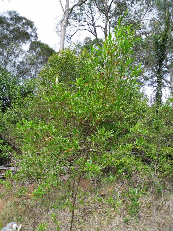 Dodonaea viscosa, Sticky Hop Bush