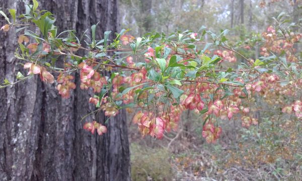 Dodonaea viscosa subsp. cuneata, Hop Bush