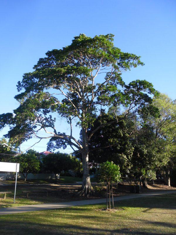Elaeocarpus grandis, Blue Quandong