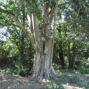Elaeocarpus obovatus, Woolah