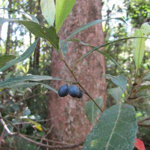 Elaeocarpus reticulatus, Blueberry Ash