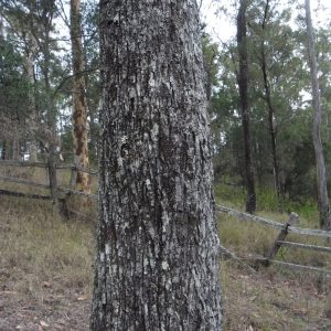 Eucalyptus crebra, Narrow Leaved Ironbark