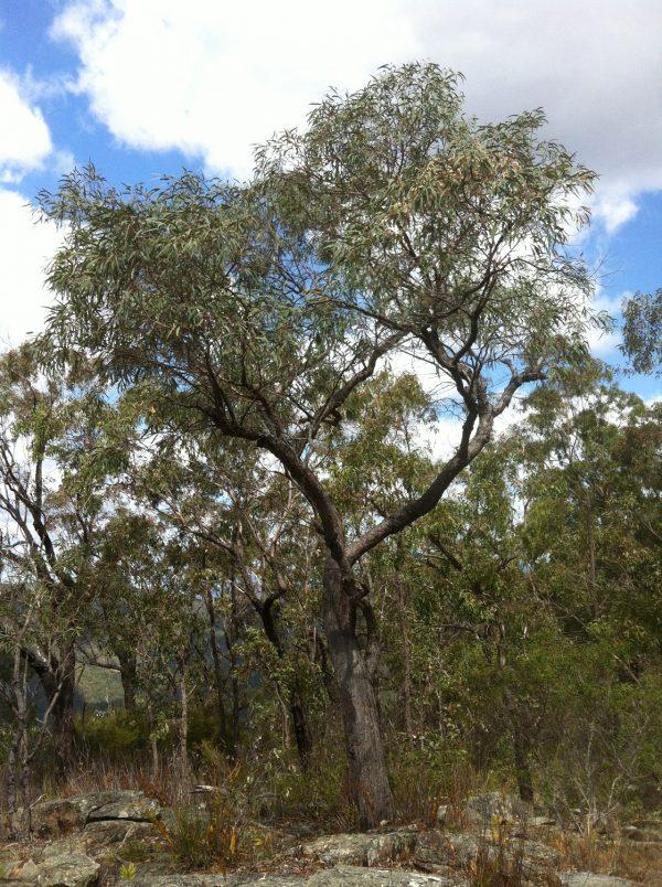 Eucalyptus exserta, Qld Peppermint