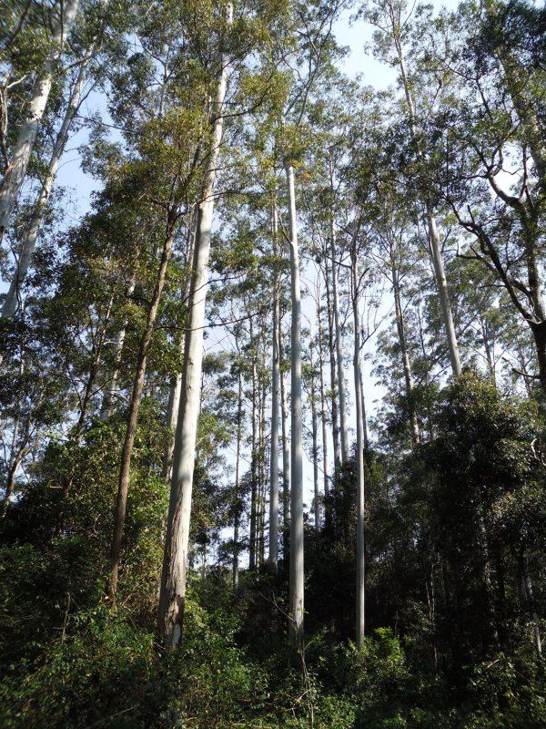 Eucalyptus grandis, Rose Gum/Flooded Gum