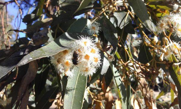 Eucalyptus microcorys, Tallow Wood