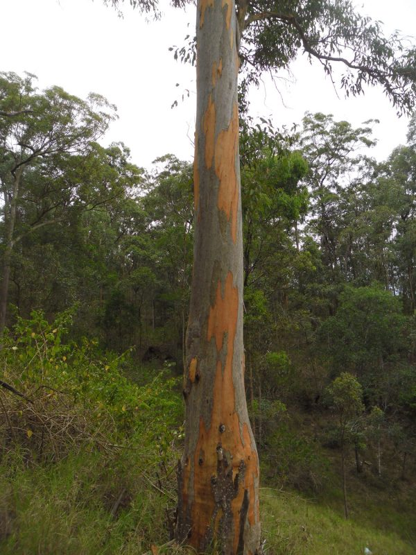 Eucalyptus propinqua, Small Fruited Grey Gum