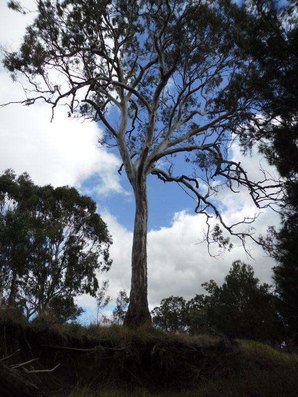 Eucalyptus tereticornis, Qld Blue Gum