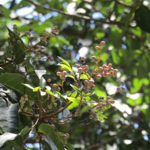 Euroschinus falcatus, Blush Cudgerie
