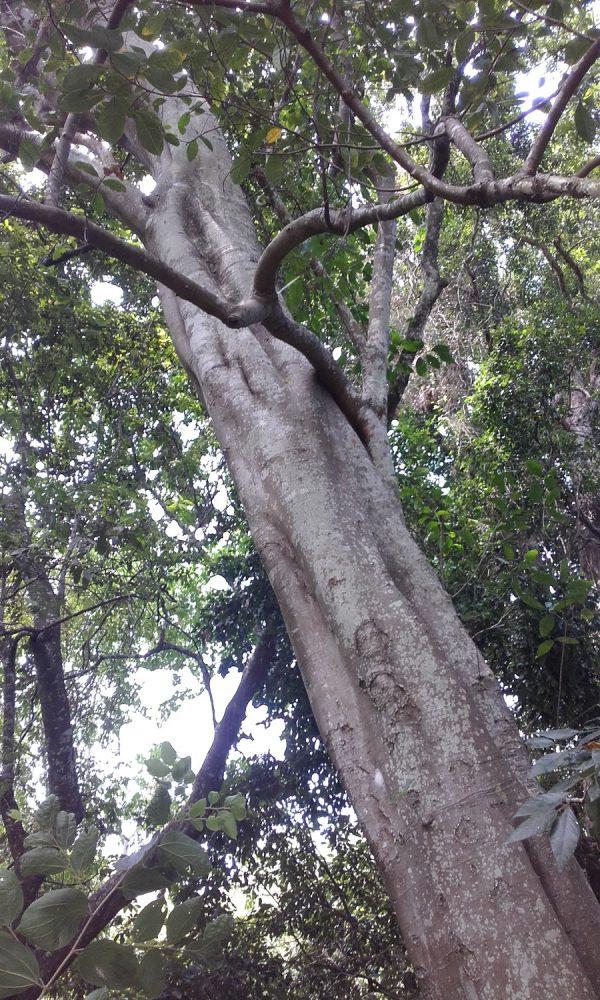 Ficus fraseri, White Sandpaper Fig