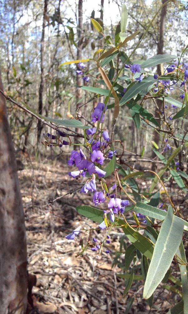 Hardenbergia violacea, Native Sarsaparilla