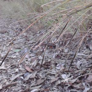 Heteropogon contortus, Black Speargrass