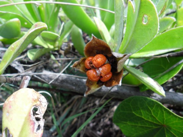 Hibbertia scandens, Climbing Guinea Flower