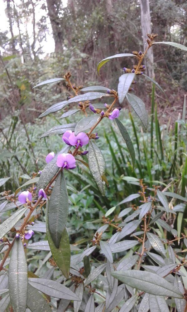 Hovea acutifolia, Pointed Leaf Hovea
