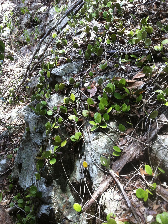 Hoya australis, Wax Flower