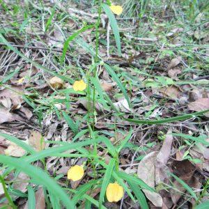 Hybanthus stellarioides, Spade Flower