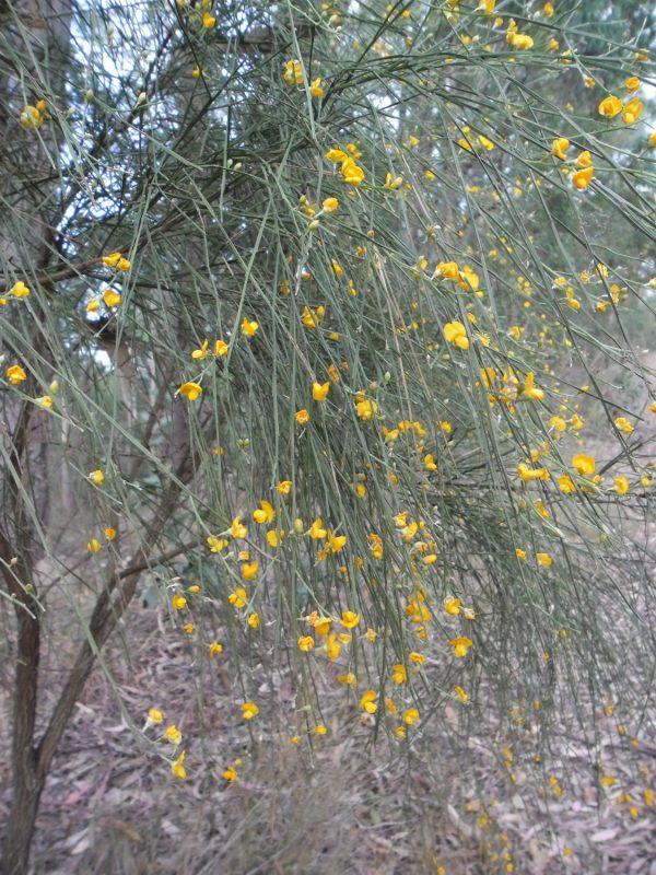 Jacksonia scoparia, Native Broom