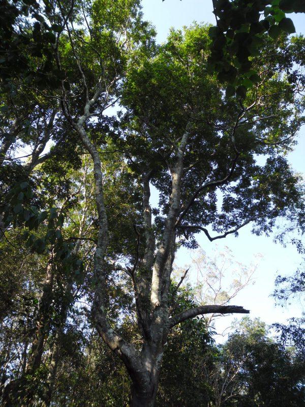 Jagera pseudorhus, Foambark Tree