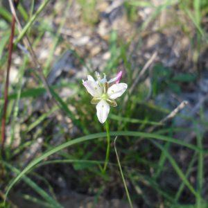 Laxmannia gracilis, Slender Wire Lily