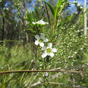 Leptospermum juniperinum, Prickly Tea Tree
