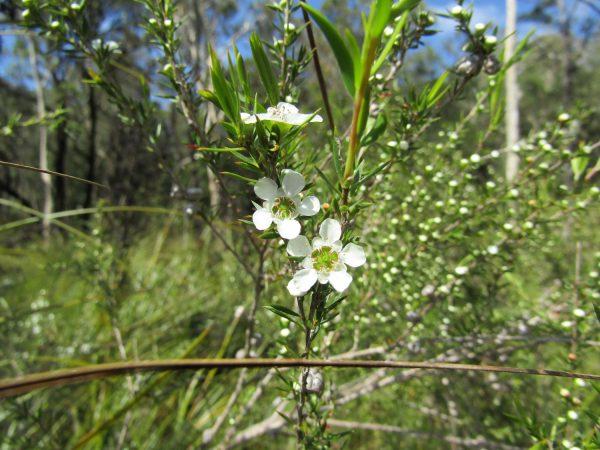Leptospermum juniperinum, Prickly Tea Tree