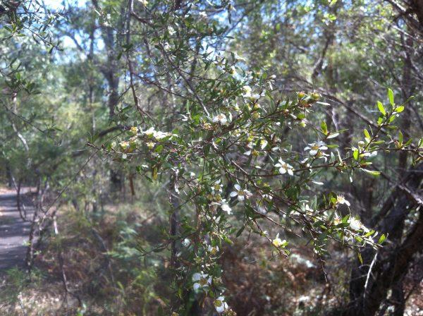 Leptospermum trinervium, Flaky-Barked Tea Tree