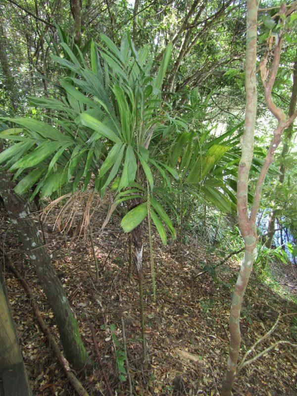 Linospadix monostachya, Walking Stick Palm