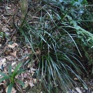 Lomandra spicata, Rainforest Mat Rush