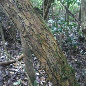 Maclura cochinchinensis, Cockspur Thorn