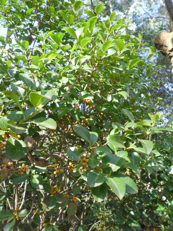 Maytenus bilocularis, Orangebark