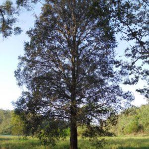 Melaleuca saligna, Willow Bottlebrush