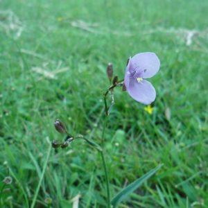 Murdannia graminea, Grass Lily