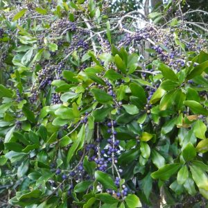 Myrsine variabilis, Muttonwood
