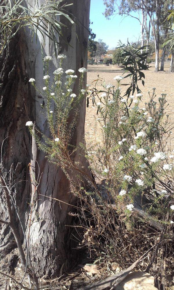 Ozothamnus diosmifolius, Sago Flower