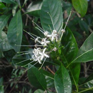 Pavetta australiensis, Butterfly bush