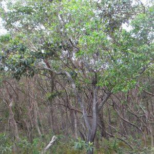 Persoonia stradbrokensis, Broad Leaved Geebung
