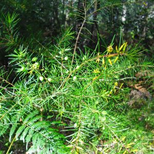 Persoonia virgata, Small Leaved Geebung