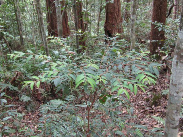 Pilidiostigma rhytispermum, Small-leaved Plum Myrtle