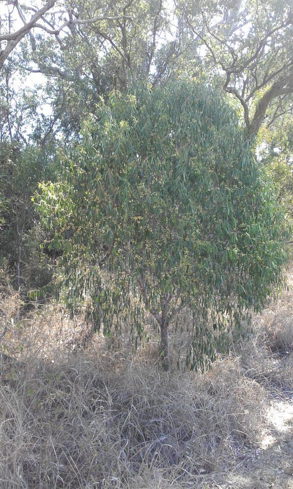 Pittosporum angustifolium, Gumbi Gumbi