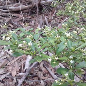 Psychotria daphnoides, Turkey Bush