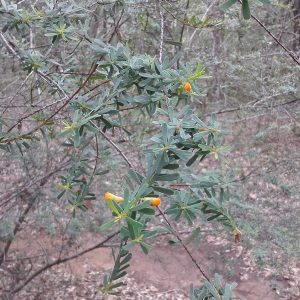 Pultenaea euchila, Orange Pultenaea