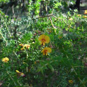 Pultenaea spinosa, Prickly Pea