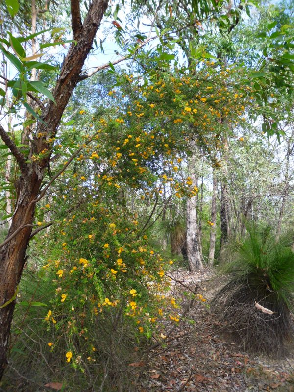 Pultenaea villosa, Hairy Bush Pea