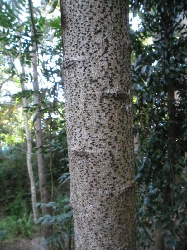 Rhodosphaera rhodanthema, Deep Yellow-wood