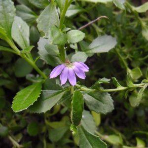 Scaevola aemula, Fan Flower