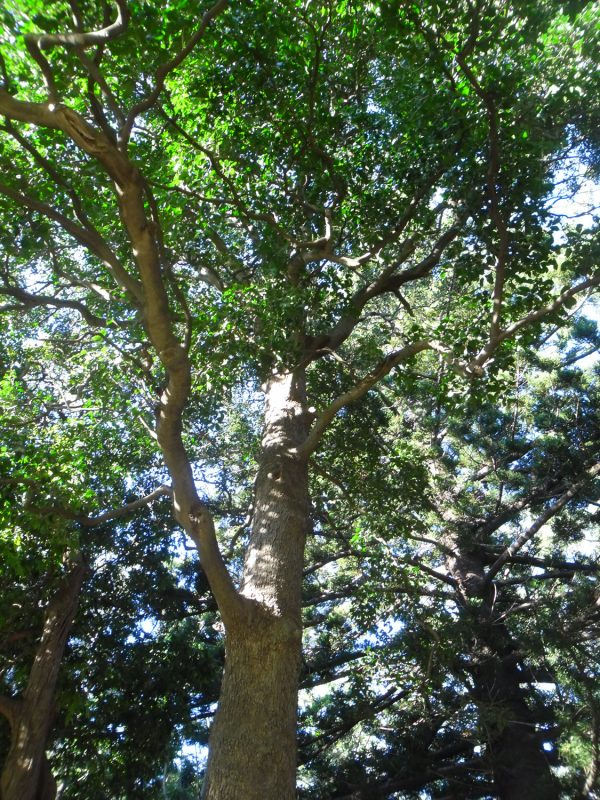 Siphonodon australis, Ivorywood