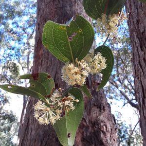 Smilax australis, Austral Sarsaparilla