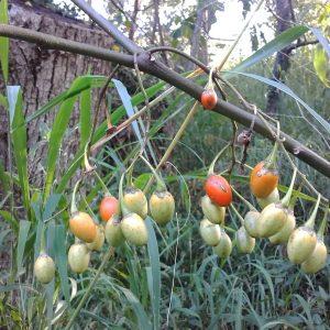 Solanum aviculare, Kangaroo Apple