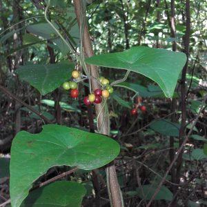 Stephania japonica, Snake Vine