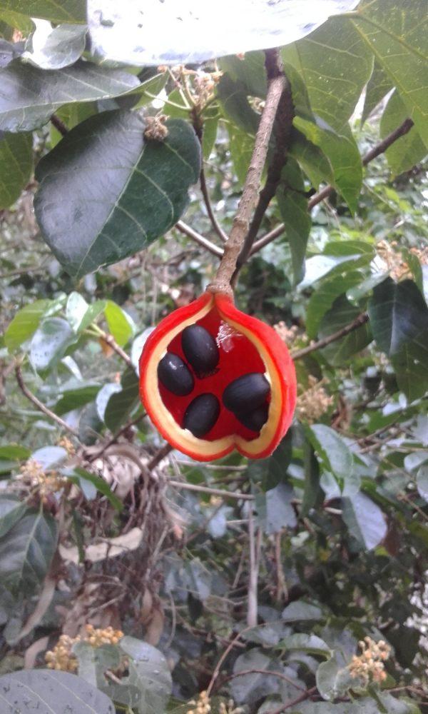 Sterculia quadrifida, Peanut Tree